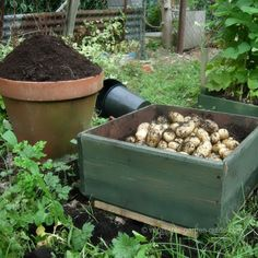 "How to grow potatoes the ""fool-proof"" way."