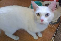Available For Adoption | Purebred Cat Rescue