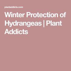 Winter Protection of Hydrangeas | Plant Addicts