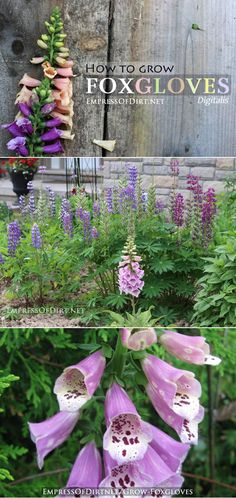 How to grow foxgloves - for the seriously romantic garden and gardener