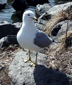 OR Sea Gull