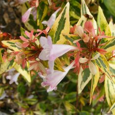 Abelia Grandiflora 'Francis Mason' - 'Francis Mason' is a semi-evergreen shrub which bears scented, blush coloured flowers from late Summer through to Autumn. Pink Plant, Palmiers, Evergreen Shrubs, Yellow Leaves, Blush Color, Flower Beds, Hedges, Planting Flowers, Bloom