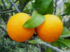 Milyen vitamin van a narancsban - Narancs Info No Cook Meals, Vitamins, Nutrition, Cooking, Fruit Food, Orange Fruit, Kitchen, Orange, Vitamin D