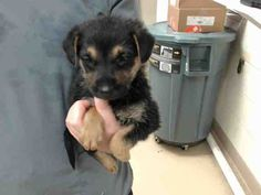 02/20/17- SUPER URGENT - HOUSTON -This DOG - ID#A478000 I am a female, black and brown German Shepherd Dog mix. The shelter staff think I am about 5 weeks old. I have been at the shelter since Feb 19, 2017. This information was refreshed 32 minutes ago and may not represent all of the animals at the Harris County Public Health and Environmental Services.