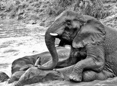 PETITION: Justice for Elephants Poisoned with Cyanide. Nearly 50 elephants died agonizing deaths after being poisoned by cyanide in the same national park where Cecil the lion was killed. Urge officials to find whoever is responsible for poisoning these innocent elephants and prosecute them to the full extent of the law.