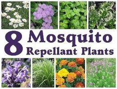 8) How do get rid of mosquitoes in your yard - #mosquito and #fact - This is very informative information for me that I didn't know and I plan to plant all of these plants in my yard to keep the mosquitoes away.