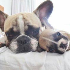 French Bulldog mom and Puppy
