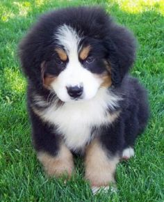 bovaro bernese sweet puppy