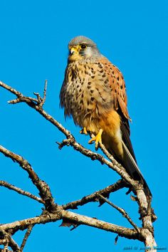 Cernícalo vulgar - Torenvalk - Falco tinnunculus - Common Kestrel - Turmfalke - Faucon crécerelle