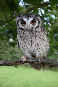 Scops Owl by *cycoze