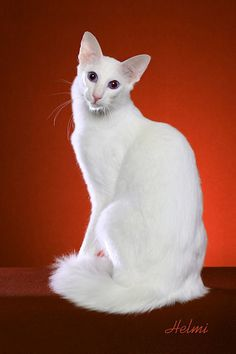 Oriental Longhair - Recently accepted as a version of the Oriental Shorthair… Devon Rex, Cornish Rex, Best Cat Breeds, Balinese Cat, Long Cat, Oriental Cat, Exotic Shorthair, White Cats, Domestic Cat