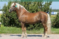 Haflinger - stallion Eldfuxens Adelante