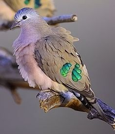 The emerald-spotted wood dove is a pigeon which is a widespread and often abundant resident breeding bird in eastern Africa from Ethiopia to South Africa. Wikipedia Scientific name: Turtur chalcospilos Rank: Species Higher classification: Turtur