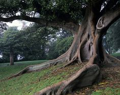 Ficus in the Royal Botanical Gardens, Sydney, NSW