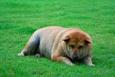 Jak skutecznie odchudzić psa