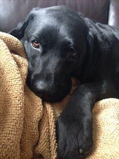 Black Labrador retriever puppy, my heart just melts....