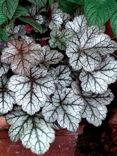 Heuchera Glitter - or similar for magnolia border
