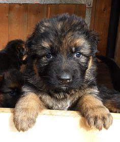 German Shepherd Puppies - 53 Pictures                                                                                                                                                                                 More