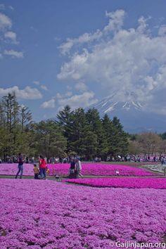 Le Mont Fuji joue à cache-cache lors du Fuji Shibazakura