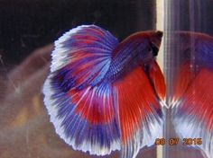 Half-Moon-50-Red-white-and-blue-male-Gorgeous