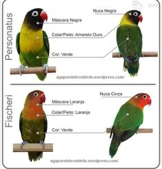 African Lovebirds, Budgies, Love Birds, Parrot, Pets, Animals, Amor, Parrots, Parrot Bird