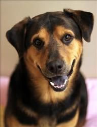 Chase is an adoptable Shepherd Dog in Lexington, KY. Hello my name is Chase, I'm a Shepherd/Rottweiler mix and I am 6 years old. I came to the shelter as a stay so there is not much to say about my pa...