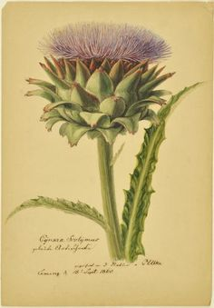Carl Ulke (1791-1882)  Study of a Cardoon with leaves