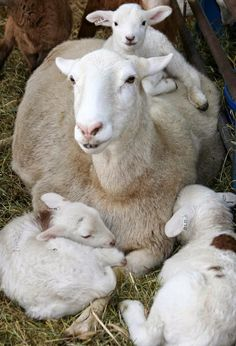 Mamma Ewe with her Triplet lambs - New mommy