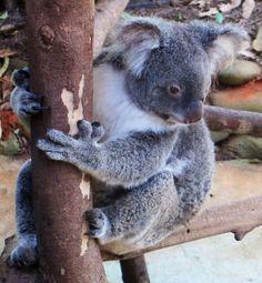 Koala eying his fresh eucalyptus lunch, Rainforest Nature Park, Kuranda, QLD, Australia, Jan 2014