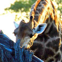 Giraffe Giraffe, Animals, Tour Operator, Nature Reserve, Wilderness, Art Gallery, Felt Giraffe, Animales, Animaux