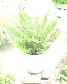 poisonous houseplants - worm ferns
