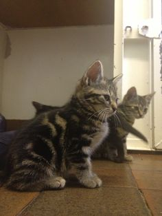 Tabby kitties.