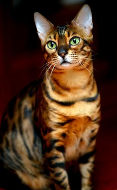 Bengal cat. It was originally a cross between a wild Asian Leopard Cat (similar in size to the domestic cat) and a domestic shorthair. The name derives not from the very distant relation, the Bengal Tiger, but from the Latin name of the Asian Leopard Cat Felis Bengalensis.