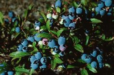 """Blueberry varieties such as """"Sunshine Blue"""" (Vaccinium """"Sunshine Blue"""") prosper within U.S. Department of Agriculture plant hardiness zones 6 through 10, where they grow as a compact ..."""