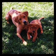 Fox red Labradors- Zoom and her 9 week old pup.