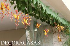 Meu amor pelas orquídeas é inegável, porém nos últimos tempos uma trepadeira vigorosa e exuberante tem chamado minha atenção. O sapatinho de judia, nome popular daThunbergia Mysorensis, vem…