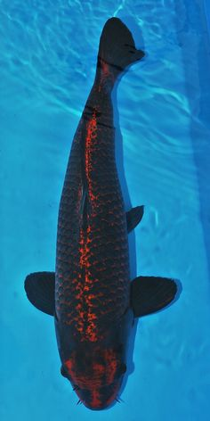 Doitsu showa black koi with red and white markings for Pesce rosso butterfly