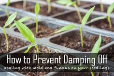 How to stop and prevent damping off. How to deal with the mold and fungus on seedlings.