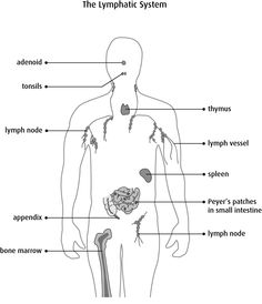 The immune system - Canadian Cancer Society