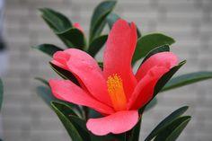 ~Camellia changii