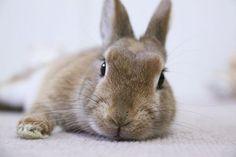 Ichigo san 444 いちごさんうさぎ rabbit bunny netherlanddwarf brown cute pet family ichigo ネザーランドドワーフ ペット いちご うさぎ