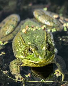 Northern Green Frog. Cute little guy! Or gal - 05/31/14 - Finally got just mere millimeters away and he let me get a good look at him (or her), but was far too quick to be caught. :) Maybe someday I'll see one close during the day enough to get my own good picture!