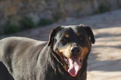 Saya, #Rottweiler, 10 Jahre, war 8.5 Jahre im Tierheim!!, verträglich