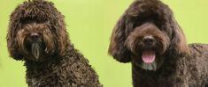 Image result for barbet dog groomed