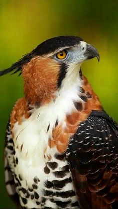Ornate Hawk Eagle (Mexico. Argentina, Peru, Trinidad & Tobago), in humid tropical forests
