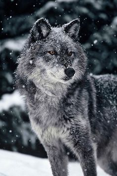 🐺If you Love Wolves, You Must Check The Link In Our Bio 🔥 Exclusive Wolf Related Products on Sale for a Limited Time Only! Tag a Wolf Lover! 📷: Please DM . No copyright infringement intended. All credit to the creators. Wolf Images, Wolf Photos, Wolf Pictures, Nature Photos, Beautiful Wolves, Animals Beautiful, Beautiful Creatures, Tier Wolf, Wolf Husky