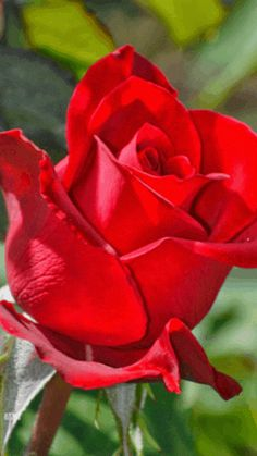 red rose flowers, rose wallpapers, wallpaper, pictures of rose, red rose images Rose Images, Rose Pictures, Flower Images, Pretty Roses, Beautiful Roses, Flowers Nature, Love Flowers, White Roses, Pink Roses