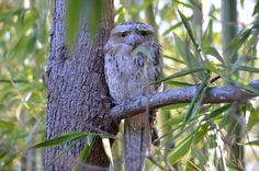 Tawny frog mouth - he's spotted me. Isn't he just the most beautiful bird? Most Beautiful Birds, Whole Food Recipes, Backyard, Animals, Art, Animales, Yard, Animaux, Backyards