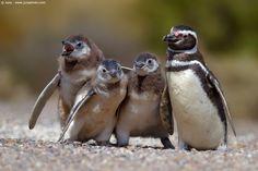 Spheniscus+magellanicus+(Magellanic+Penguin),+011920