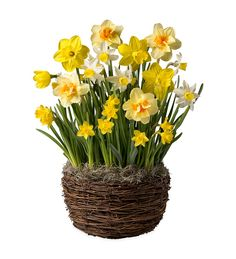Narcissus Variety Bulb Garden - Ships January-June 2017 in Live Plants and Bulbs